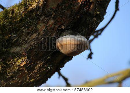Fire Sponge (Phellinus Igniarius)