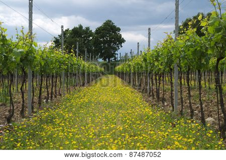 Italian vineyard with yellow flowers
