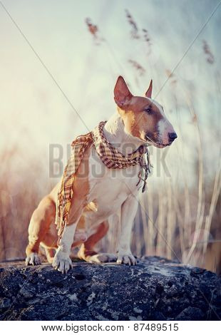 The Attentive Dog Of Breed A Bull Terrier In A Checkered Scarf
