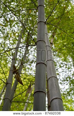 A photo of looking up to a Green bamboo forest in Asia