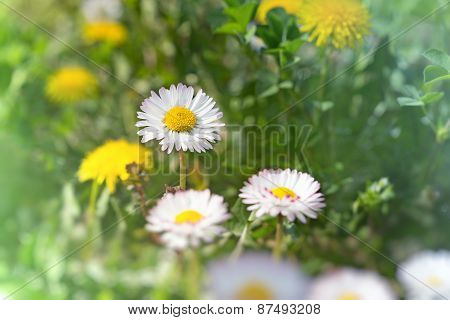 Daisy flowers in grass (spring daisy)