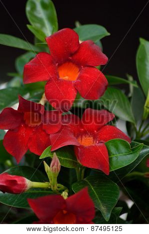 Red mandevilla against black background