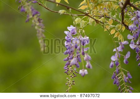 Wisteria flower bloom against a white sky background