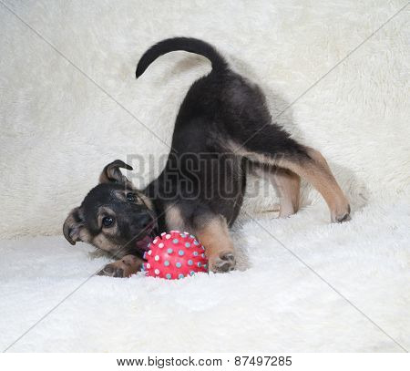 Black And Yellow Puppy Playing On White Sofa