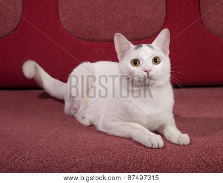 White Cat With Gray Spots Lying On Couch
