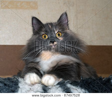 Tricolor Cat Sitting On Black And White Bedding