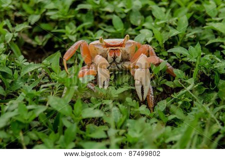 Orange Crab In Green Weeds