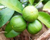 foto of lime  - green lemon - lemon tree -limes - lime tree ** Note: Soft Focus at 100%, best at smaller sizes - JPG