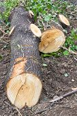 picture of chainsaw  - Trunk of tree torn to pieces with an chainsaw - JPG