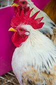 foto of bantams  - Colorful Rooster - JPG