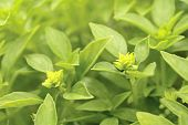 stock photo of piccolo  - Green piccolo basil on a vegetable patch - JPG