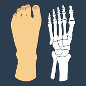 stock photo of flat-foot  - The flat design of the foot and the foot skeleton - JPG