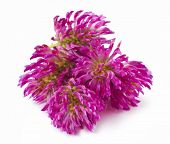 stock photo of red clover  - Red clover flower  - JPG