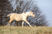 foto of paint horse  - Paint horse foal running in freedom alone in autumn - JPG