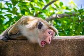 pic of marmosets  - Photo of the monkey lie with open mouth in Sigiriya Sri Lanka - JPG