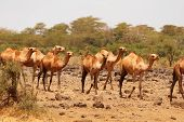 pic of carry-on luggage  - Camels used for carrying heavy luggage in Amboseli national parkKenya - JPG