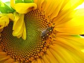 stock photo of insect  - There are insect and plant. The insect (bumblebee) on sunflower.