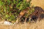 picture of kill  - Male cheetah sitting in grass near a killed gazelle in Masai Mara Kenya - JPG