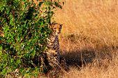 pic of cheetah  - Male cheetah sitting in grass and looking for its pray in Masai Mara Kenya - JPG