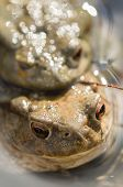 foto of mating  - Close up of Mating of toads Bufo in water - JPG