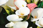 picture of calla  - Calla lily - JPG
