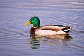 stock photo of male mallard  - Male mallard duck floating on the pond - JPG