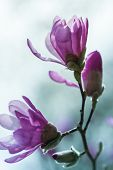 stock photo of japanese magnolia  - Flowering pink magnolia  - JPG