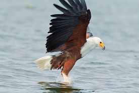 foto of fish-eagle  - Fish Eagle carrying catched fish in its feet - JPG