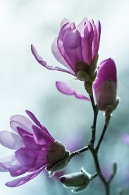 pic of japanese magnolia  - Flowering pink magnolia  - JPG