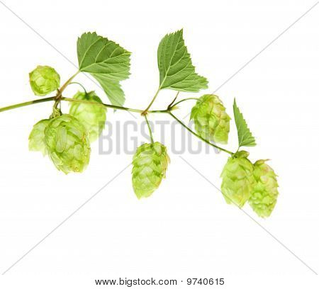 Hop Branch Isolated