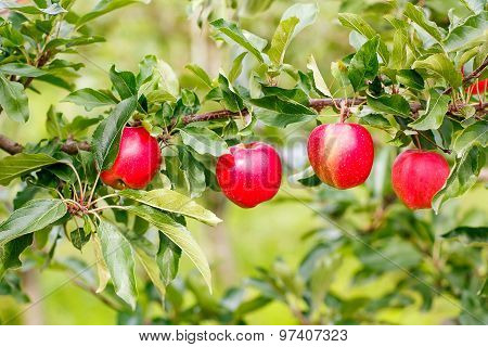 Red Ripe Apples On Tree In Organic Orchard.