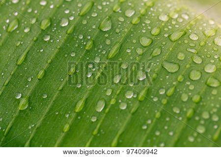 Green Leaf With Rain Drop. Macro Shot