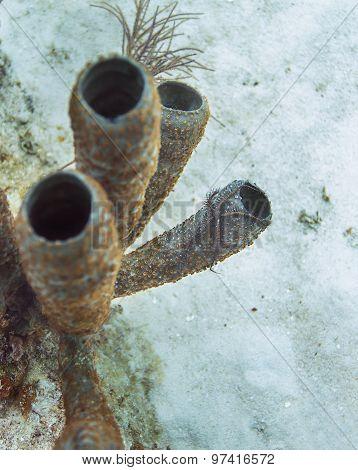 Ophiocoma Paucigranulata
