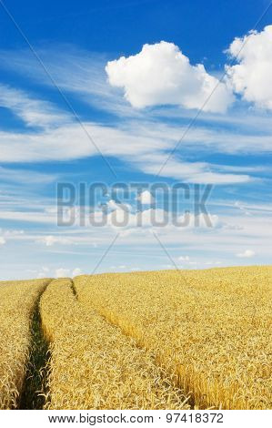 Ripe wheat field on a sunny day
