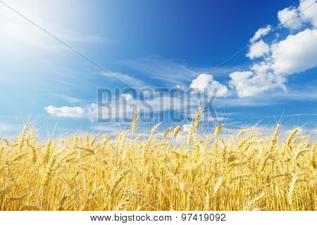 Ripe wheat on a sunny day