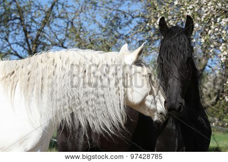 White Andalusian Horse With Black Friesian Horse