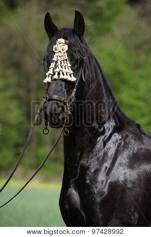 Black Friesian Mare In Spring