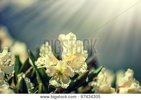 Macro Shot Of Caucasian Rhododendron Flowers