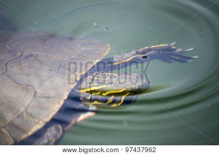 Turtle Going Under