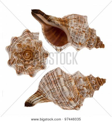 Sea shells isolated.