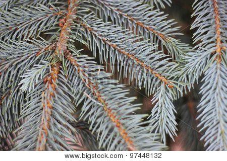 Pine Tree Branch Close Up