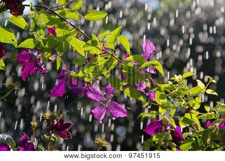 Clematis In The Rain