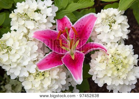 Pink Fire Lily And White Hydrangea Paniculata