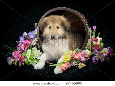 Spring Collie Puppy