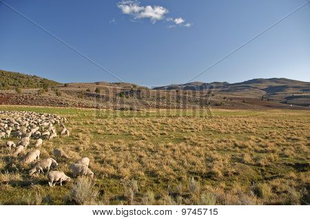 Flock Of Sheep In Open Landscape Farm Scenery