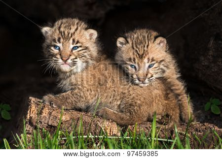 Baby Bobcat Kittens (lynx Rufus) Hide Out In Hollow Log
