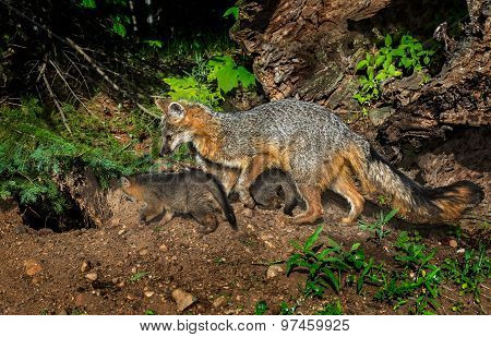 Grey Fox Vixen And Kits (urocyon Cinereoargenteus) Check Out Den