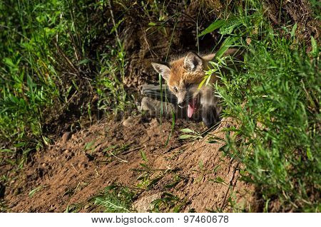 Red Fox Kit (vulpes Vulpes) Pokes Head Out Of Den