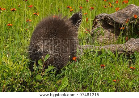 Porcupine (erethizon Dorsatum) Climbs Off Log