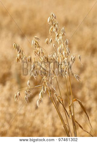 Ripe Oats On The Background Field